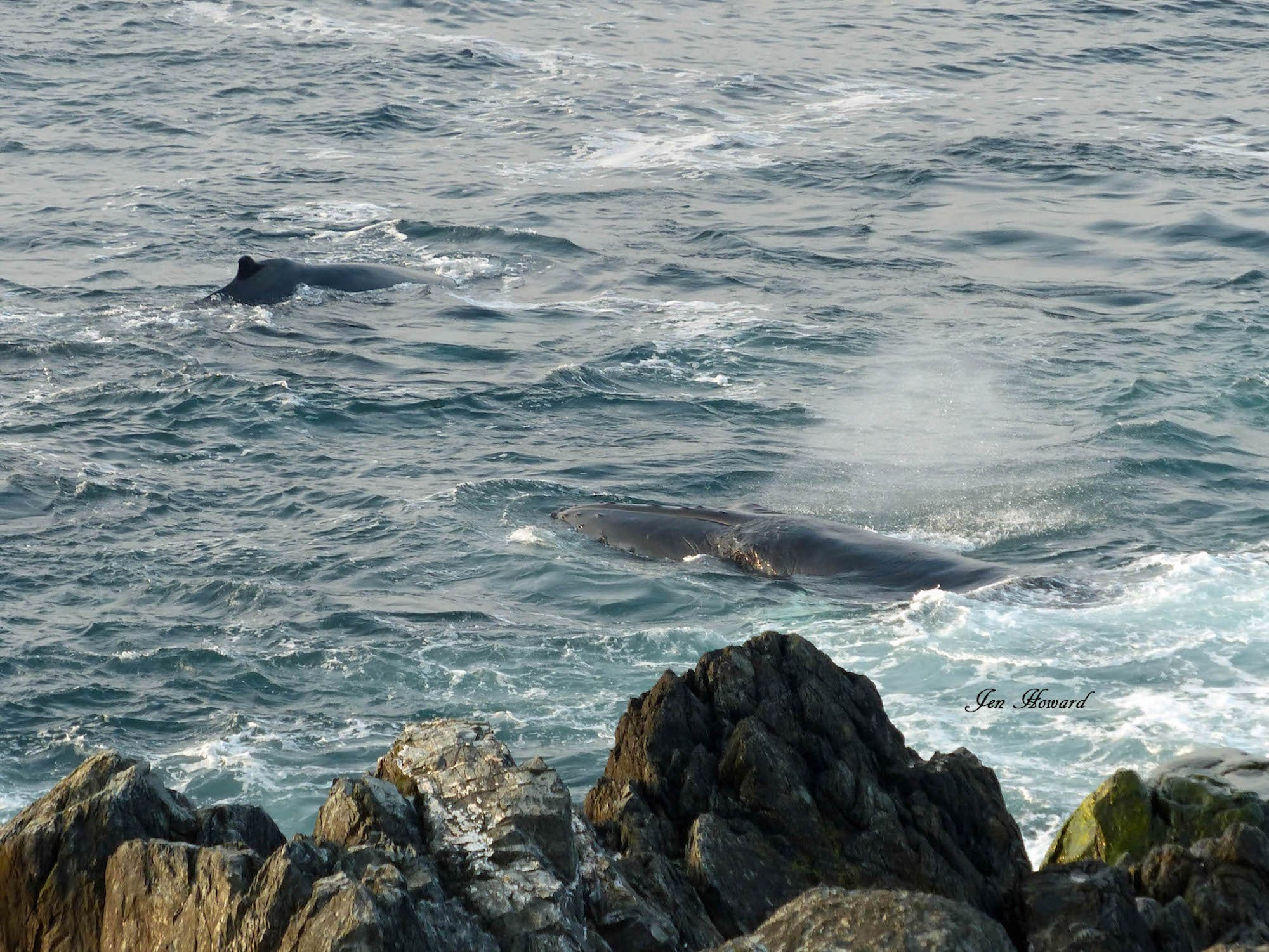 Humpback Whales Nfld By Jennifer Howard