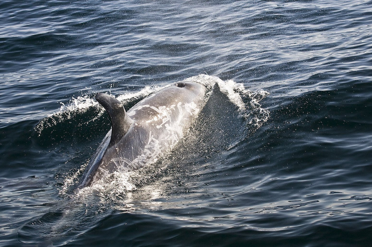 Risso's Dolphin By Michael L. Baird