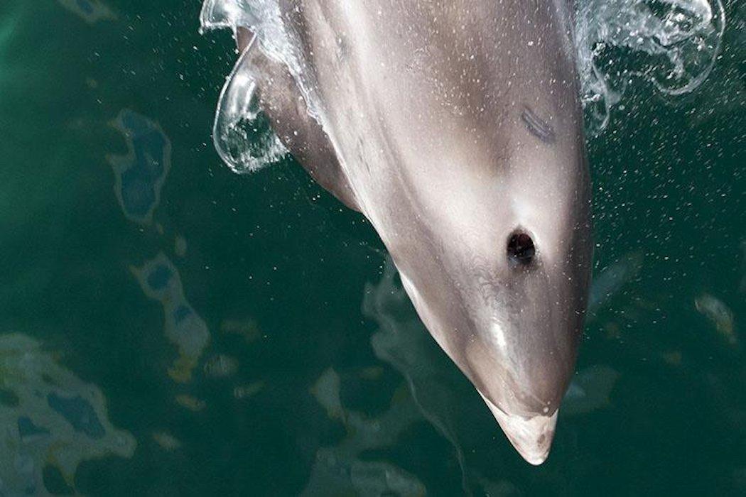 White-beaked-dolphin Head By Brian Gratwicke
