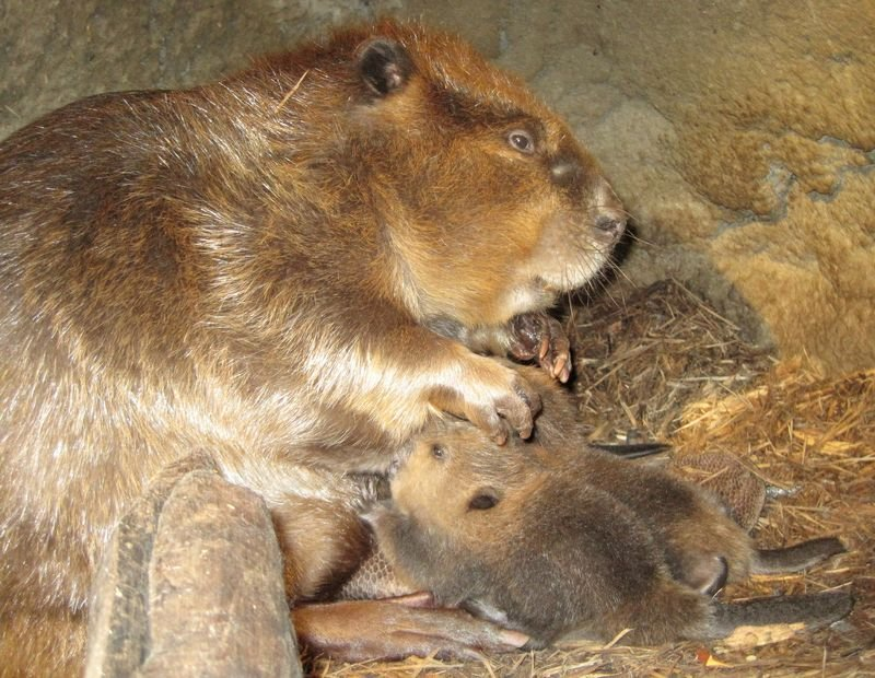 Baby beavers with mother