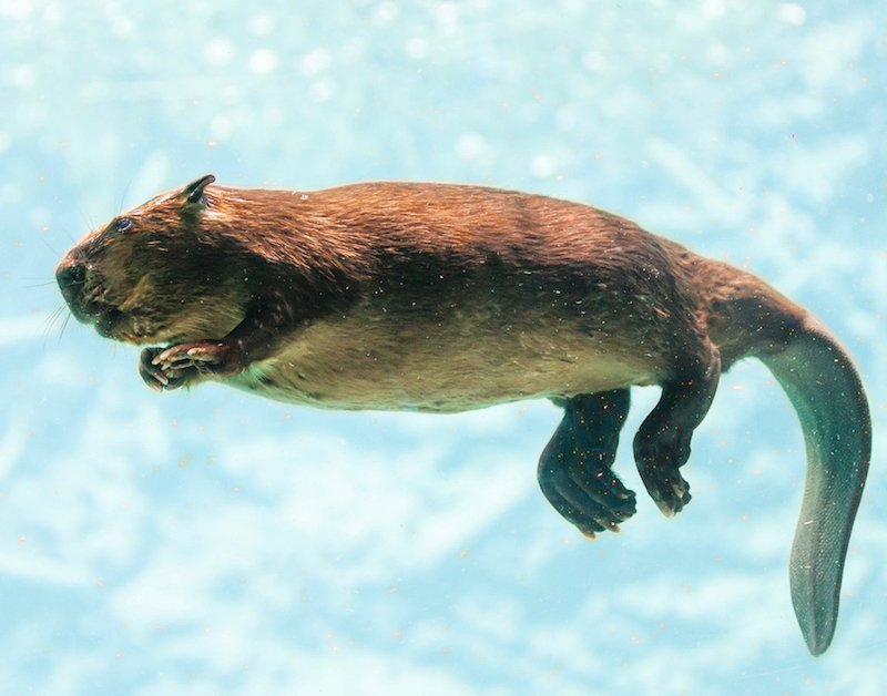 Beaver can spend 15 minutes underwater before coming up for air