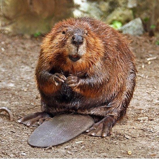 Beaver munching