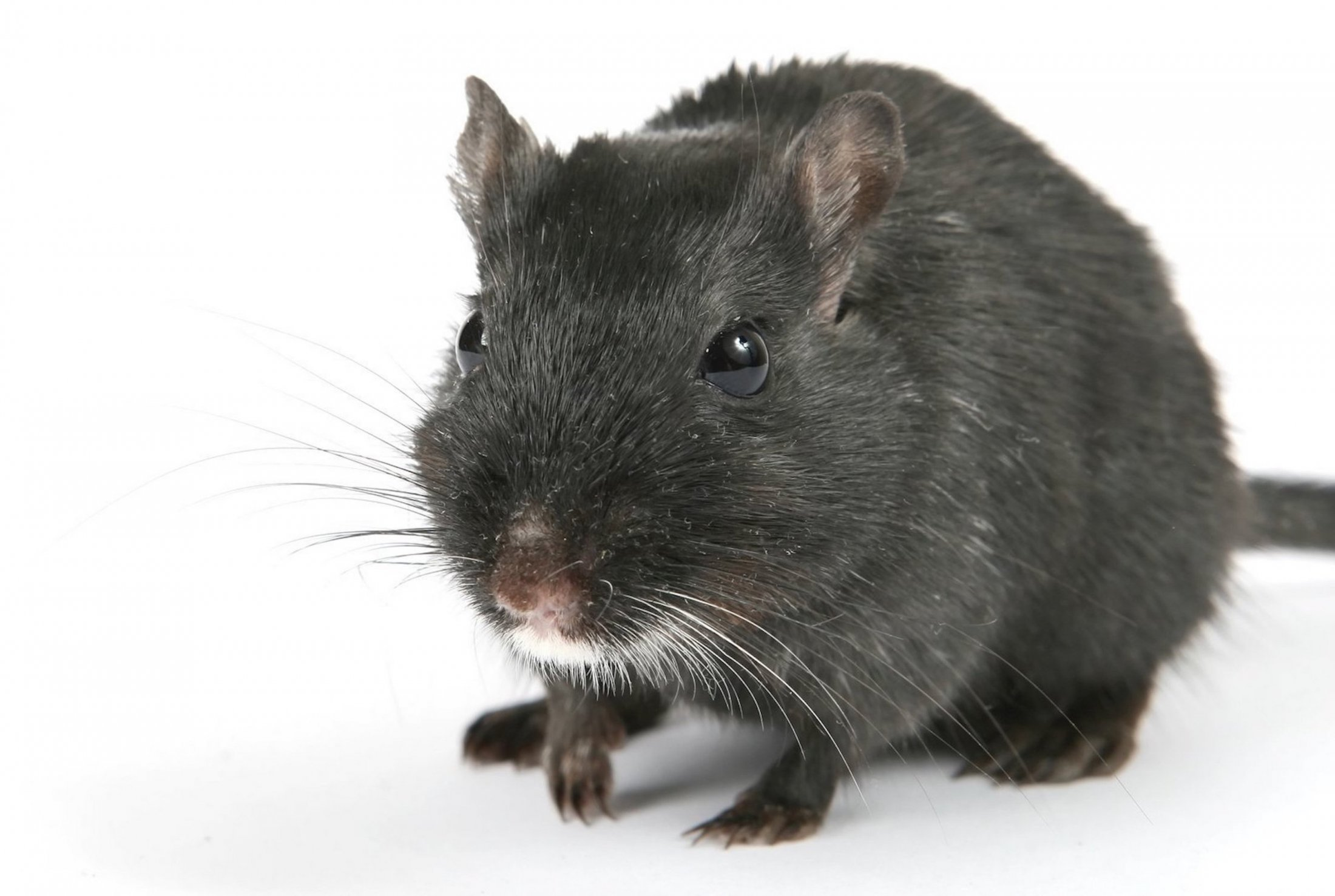 Cute black male rat