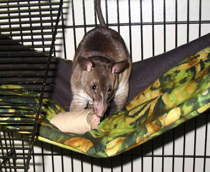 Giant Pouched Rat of sub-Saharan Africa