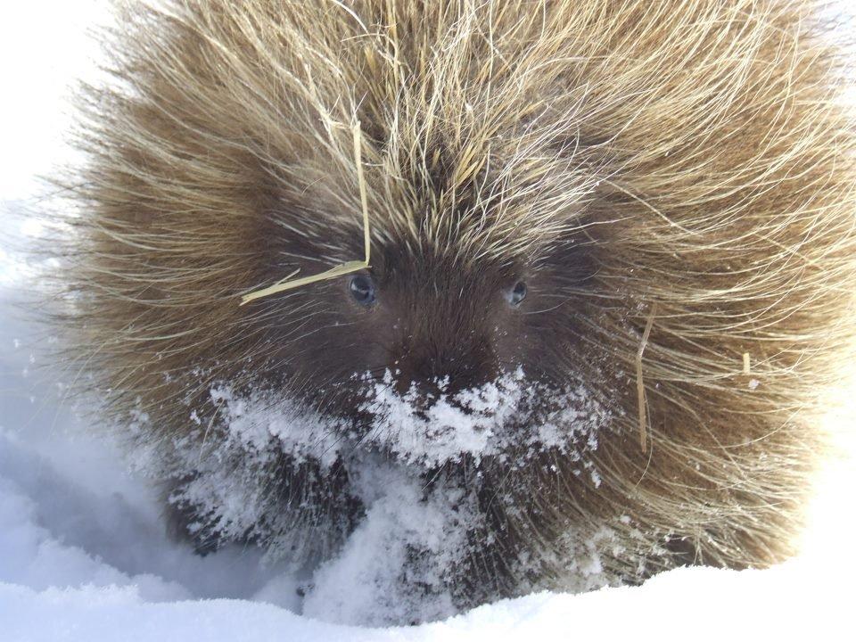1 Porcupine at Procyon by Debra Spilar