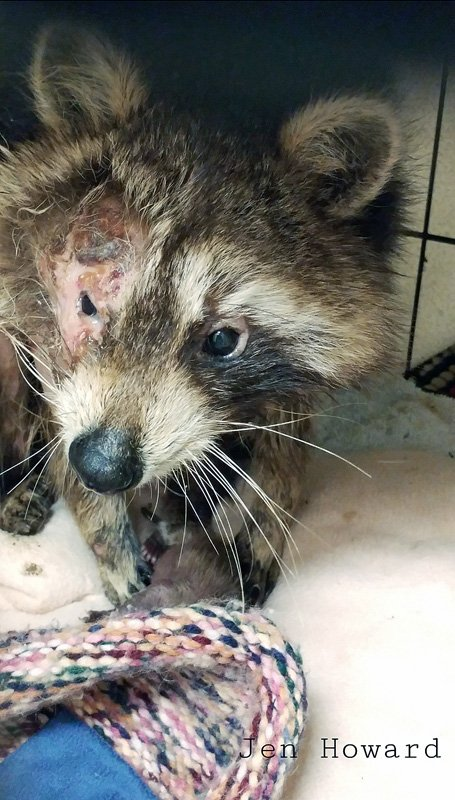 20210326 120540 Raccoon Burnt In Brush Pile And Her Suviving Babe