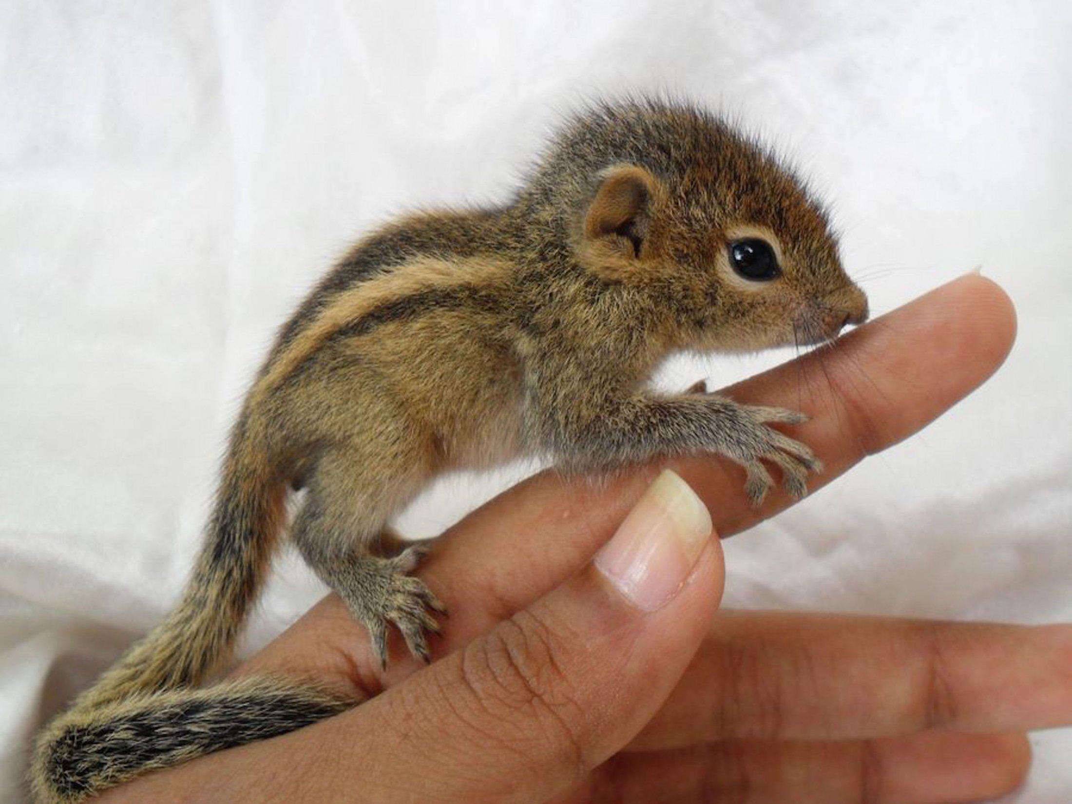 Baby chipmunk on a finger