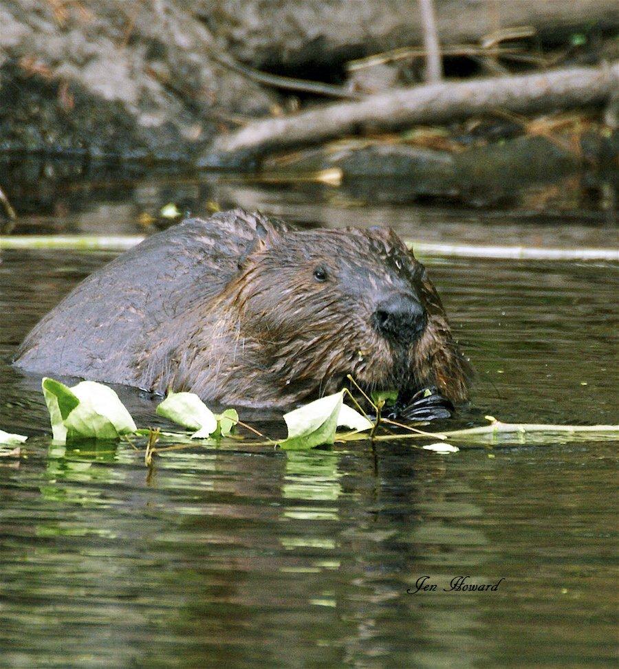 Beaver eating by Jennifer Howard