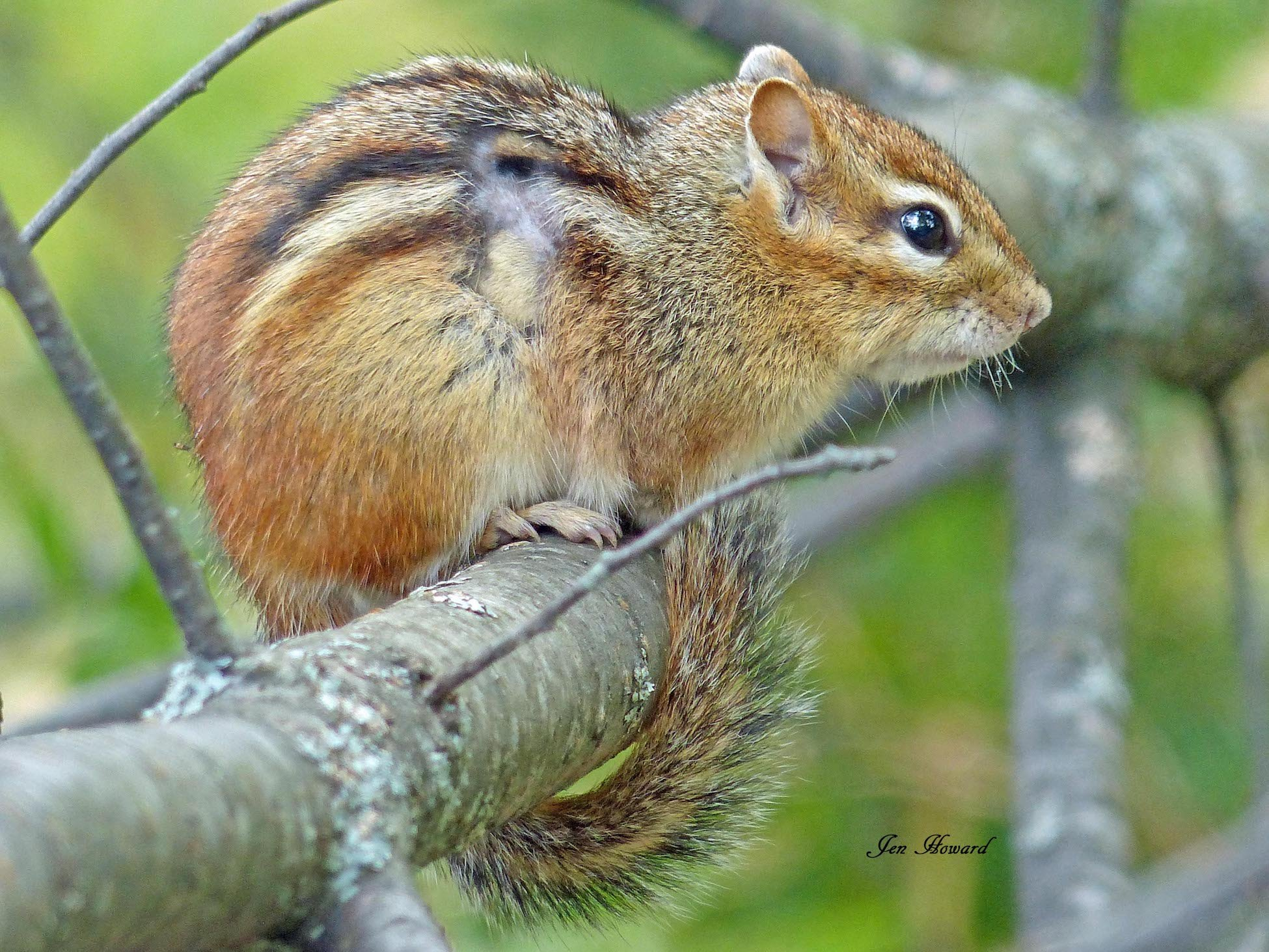 Chipmunk In Tree By Jennifer Howard