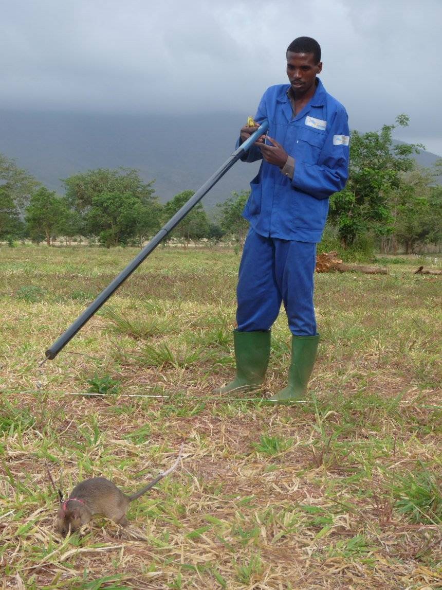 HeroRAT finds a land mine in a training field in Tanzania