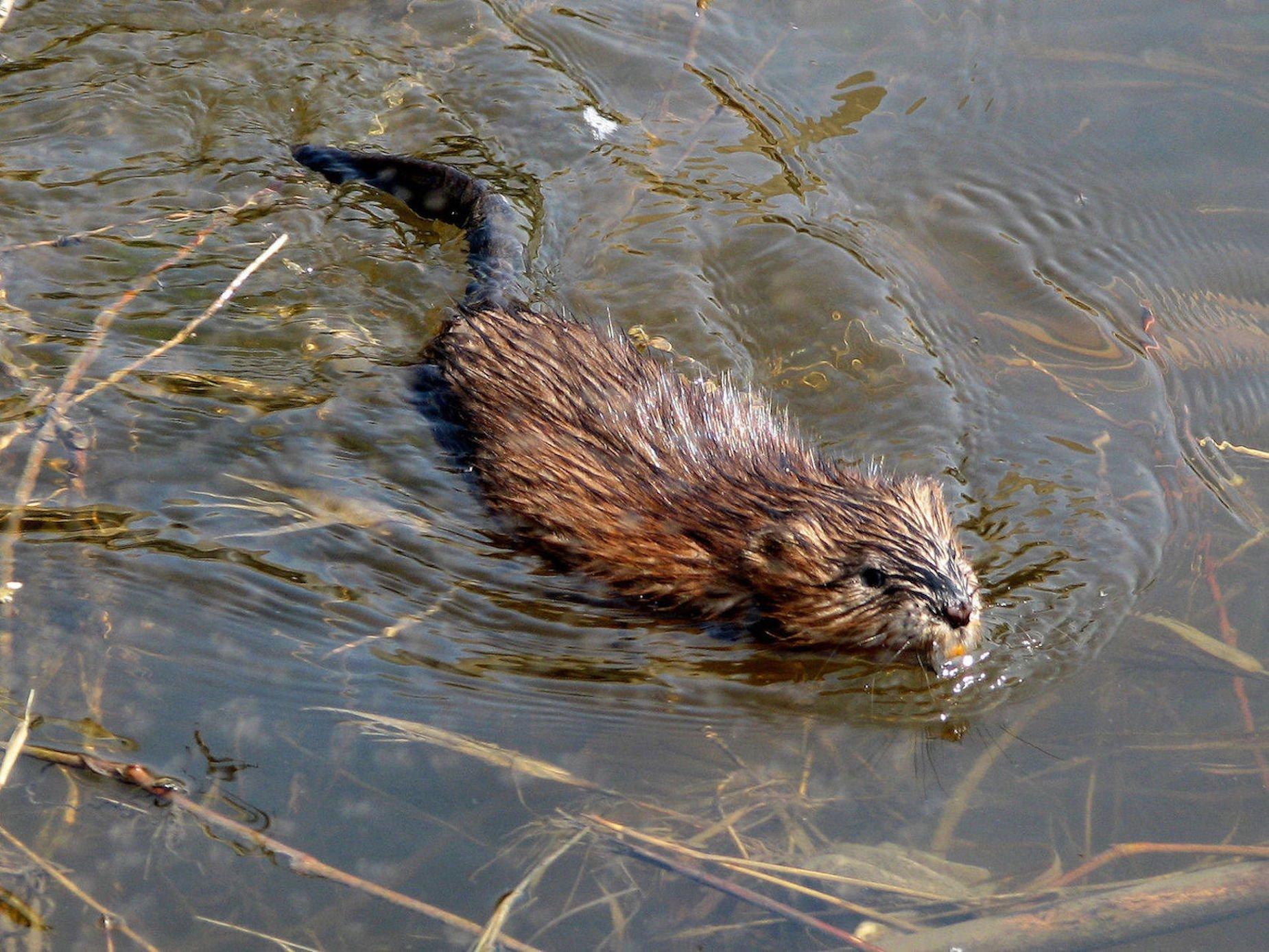 Muskrat swimming in Ottawa river by D. Gordon E. Robertson