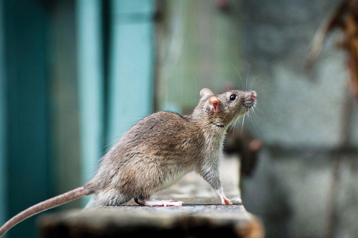 Stowaway Brown Rat By Heiko Kiera