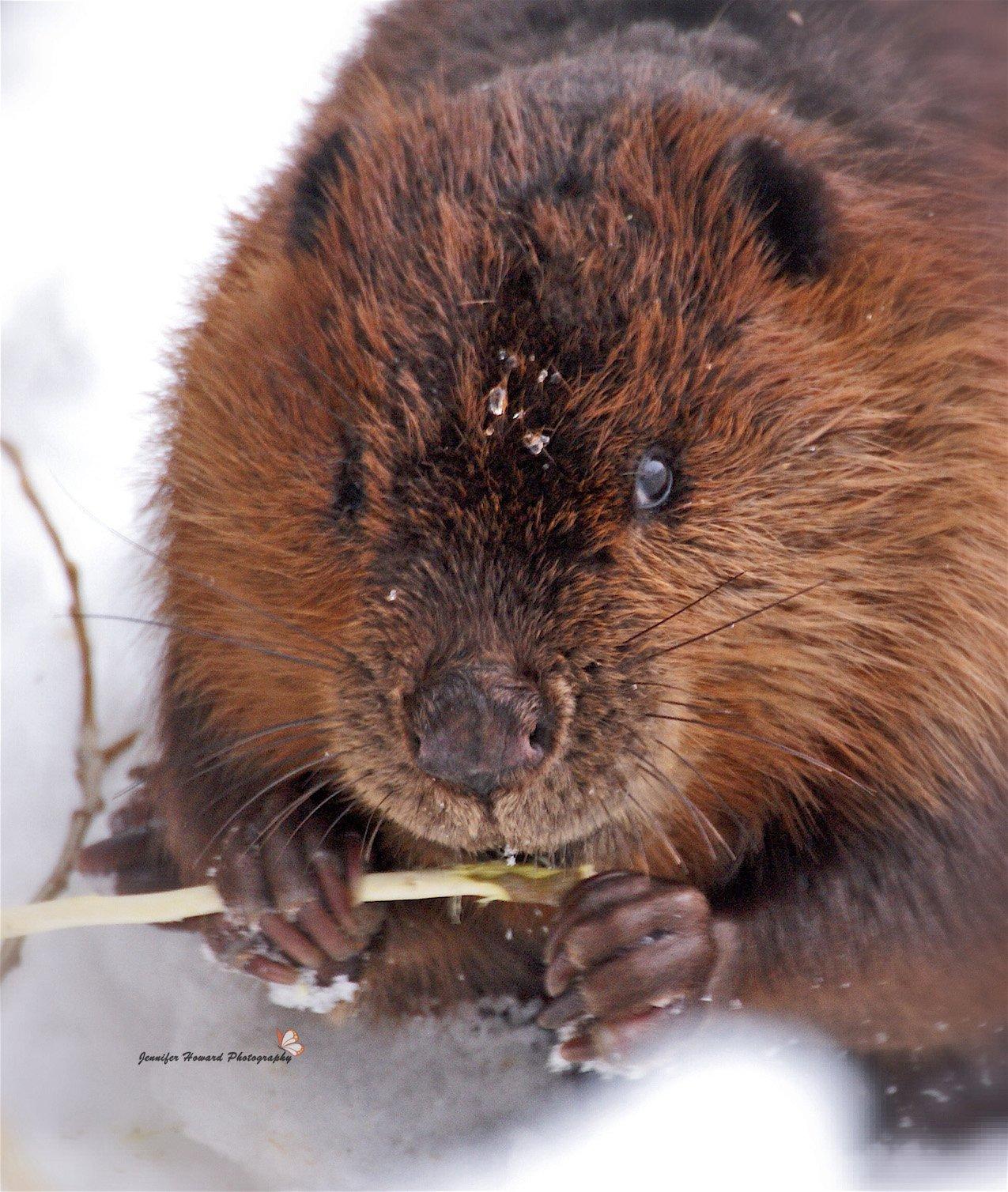 3 Beaver By Jennifer Howard