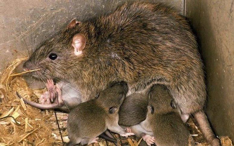 Brown Rat Litter By Robin Redfern