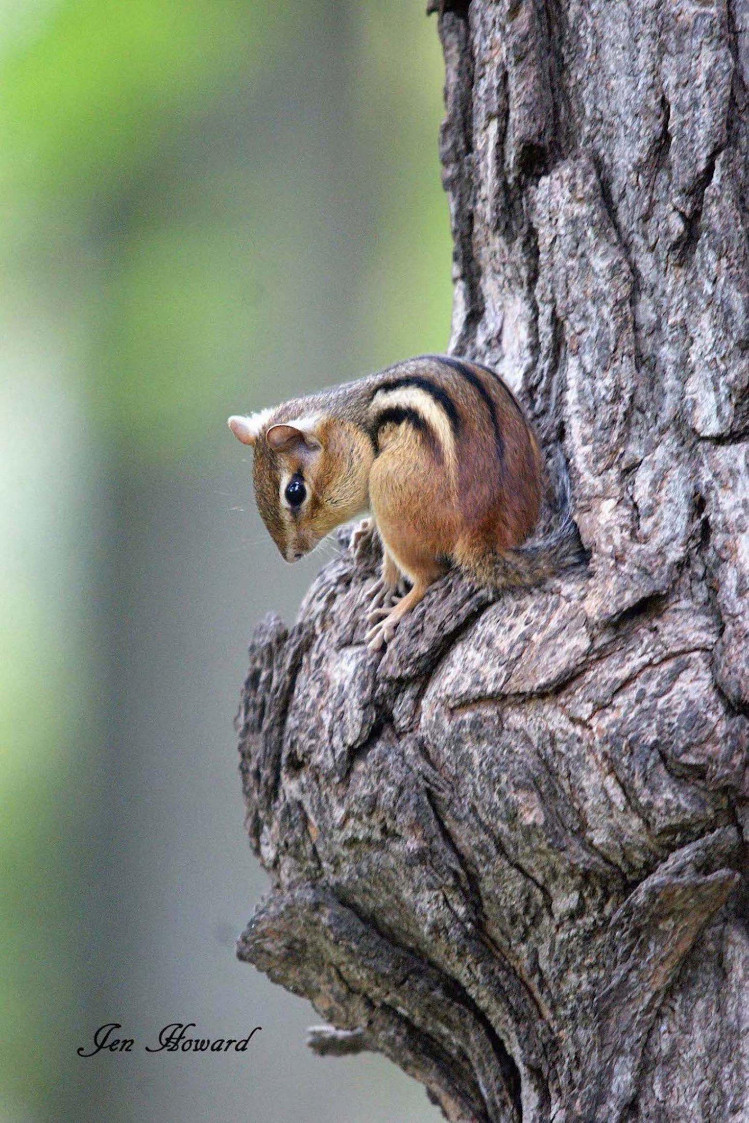 Chipmunk in a tree by Jennifer Howard
