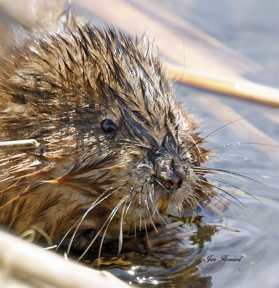 Muskrat Chewing On A Plant By Jennifer Howard