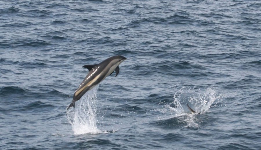 Atlantic-white-sided Dolphins