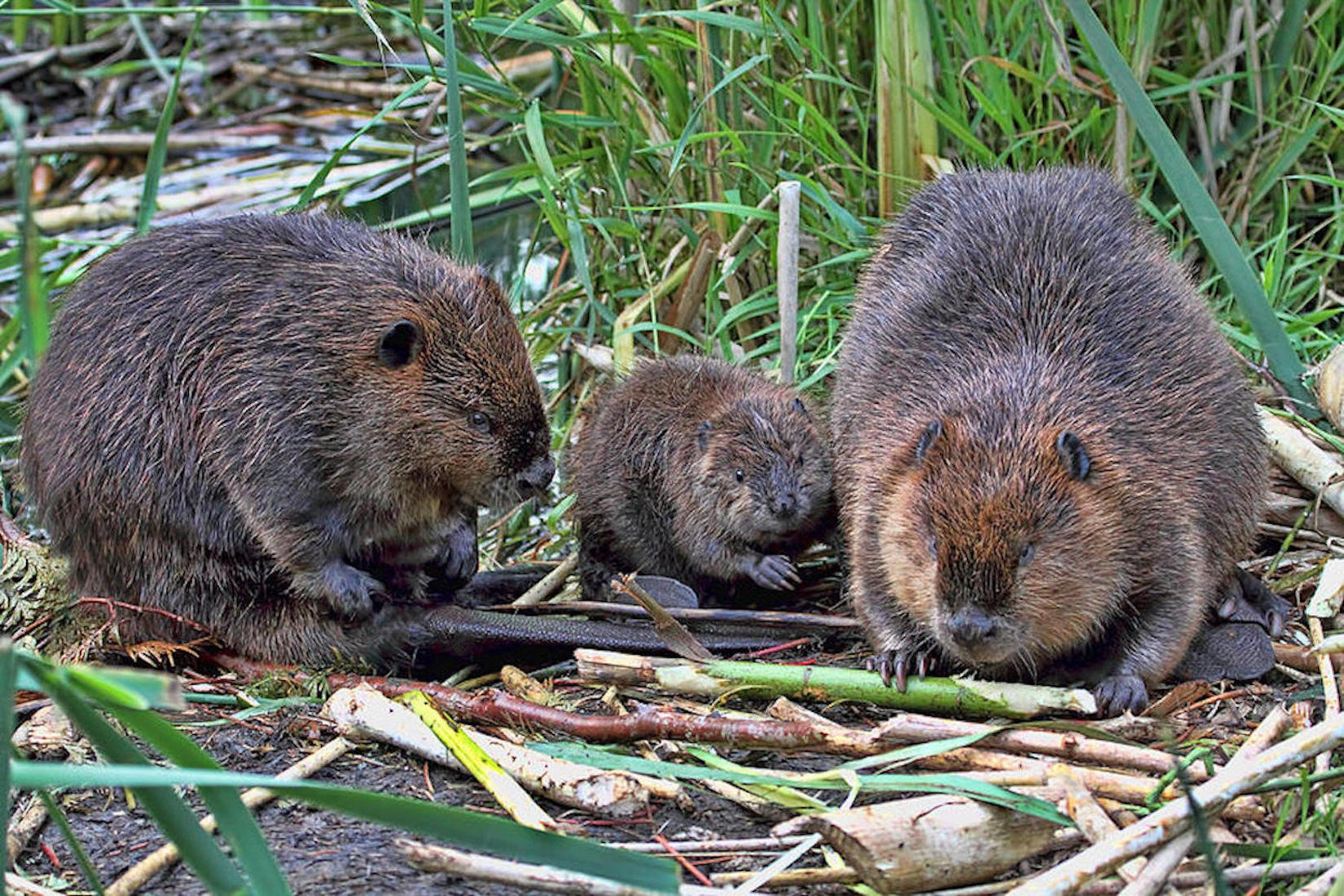 Beaver family by Peggy Collins