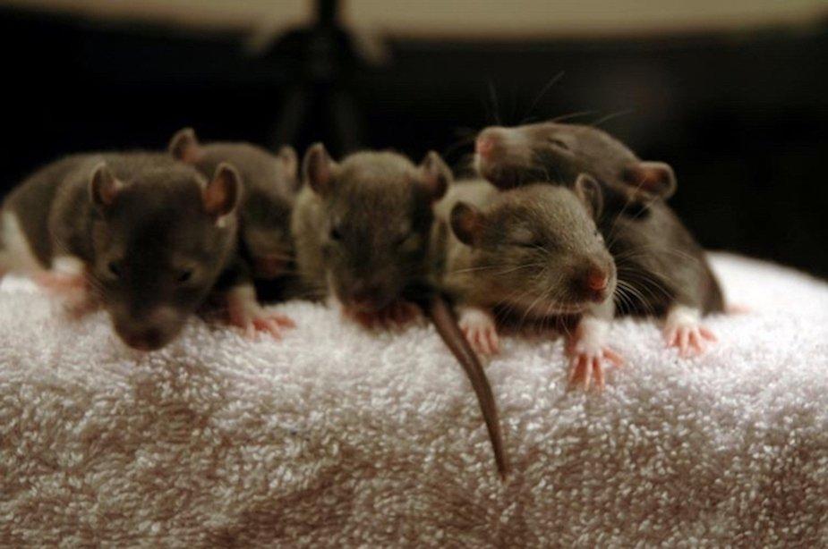 Brown Rat Babies By Kristen Ankiewicz
