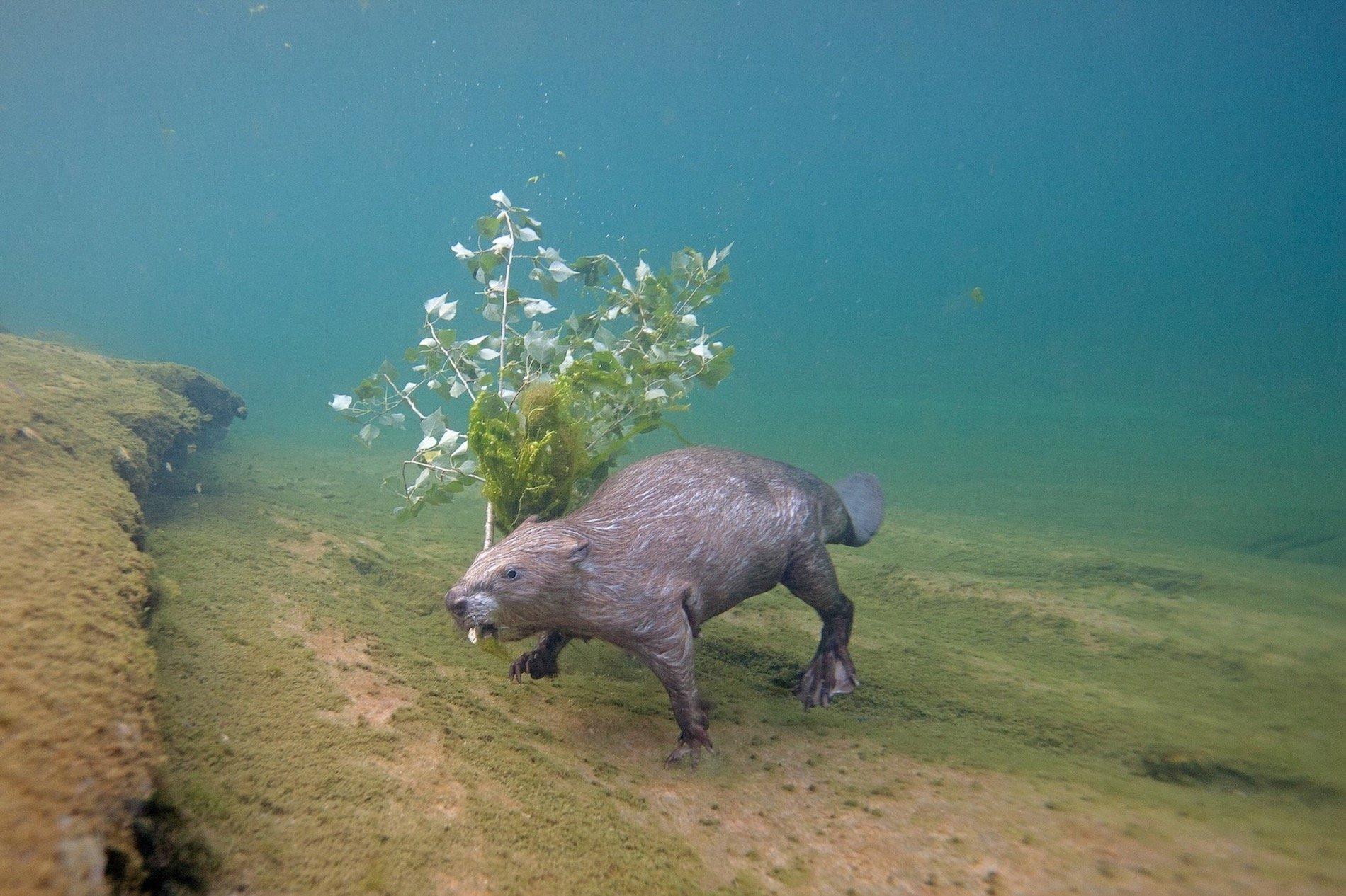 Eurasian beaver swimming by Louis-Marie Preau