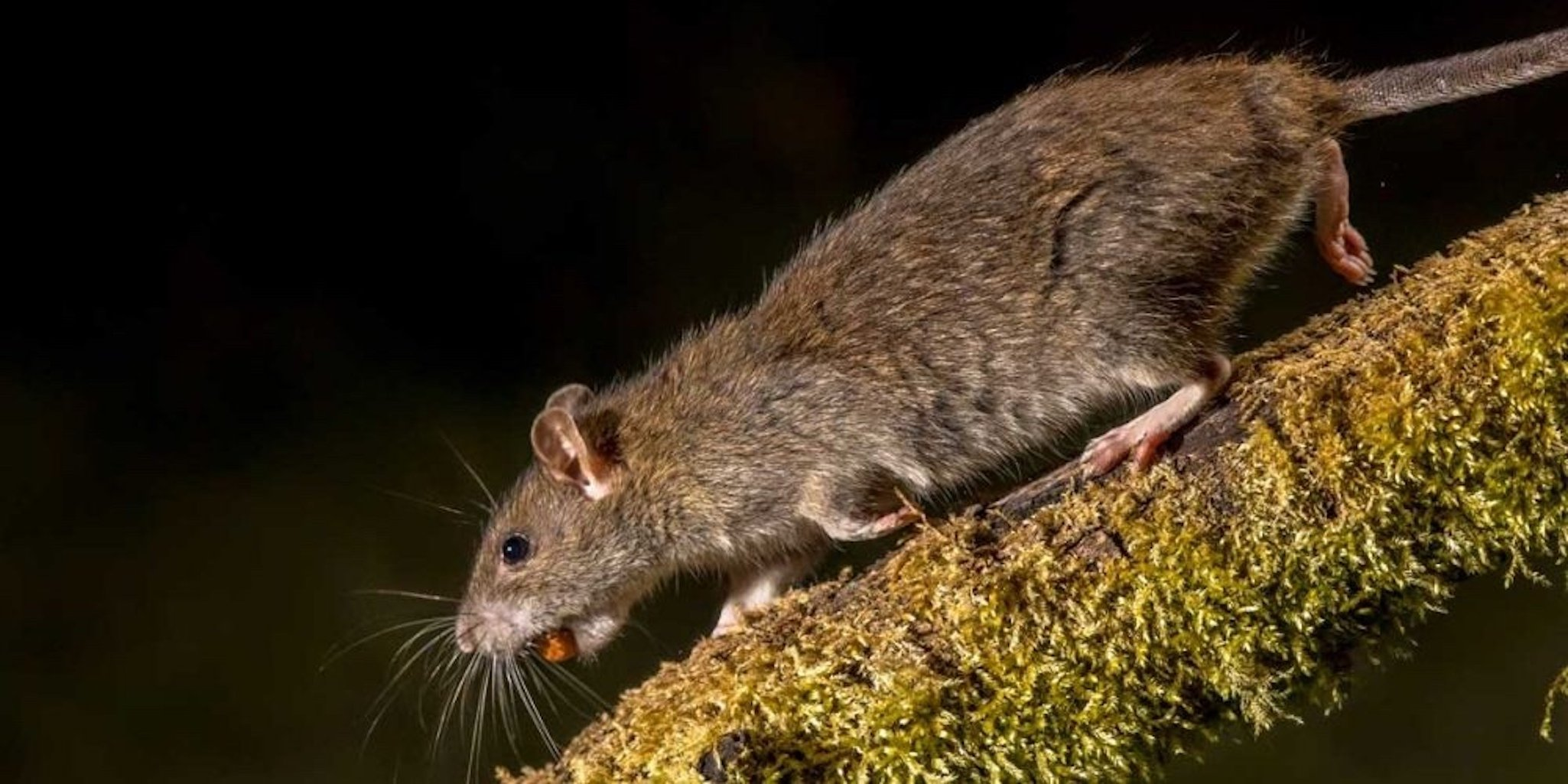 Brown Rat With Food In Mouth