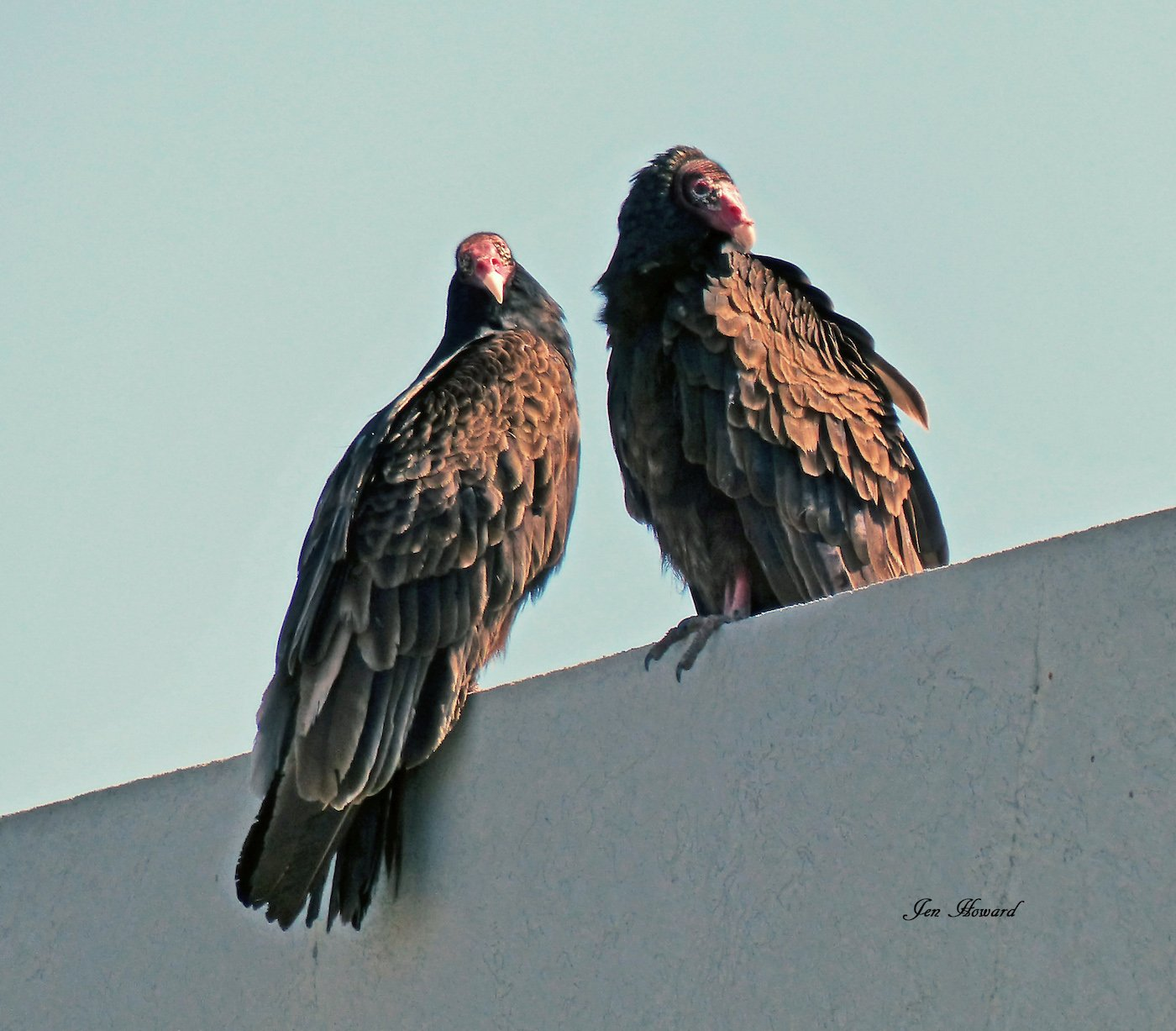Turkey vulture pair on top of the Coke building