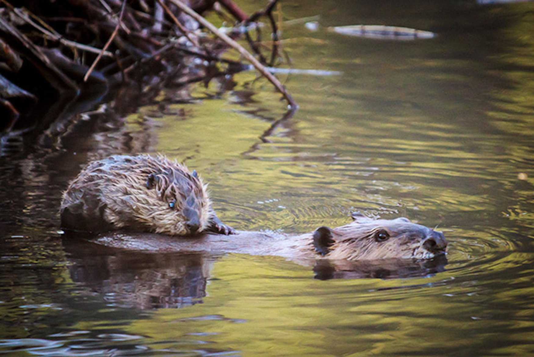Mother and baby beaver Swimming by Jeff Mollman