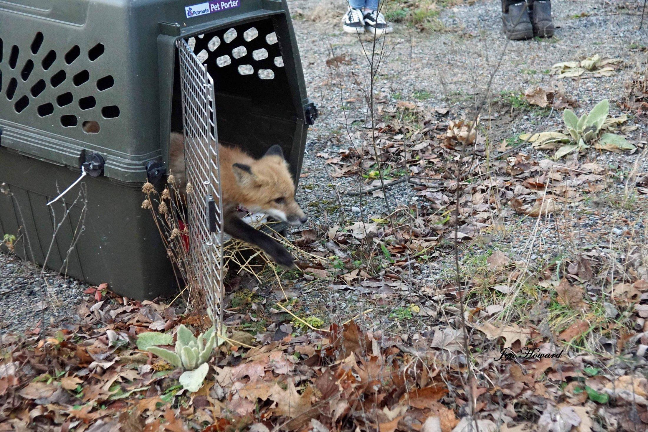 Meadow the Fox Goes Free - 8
