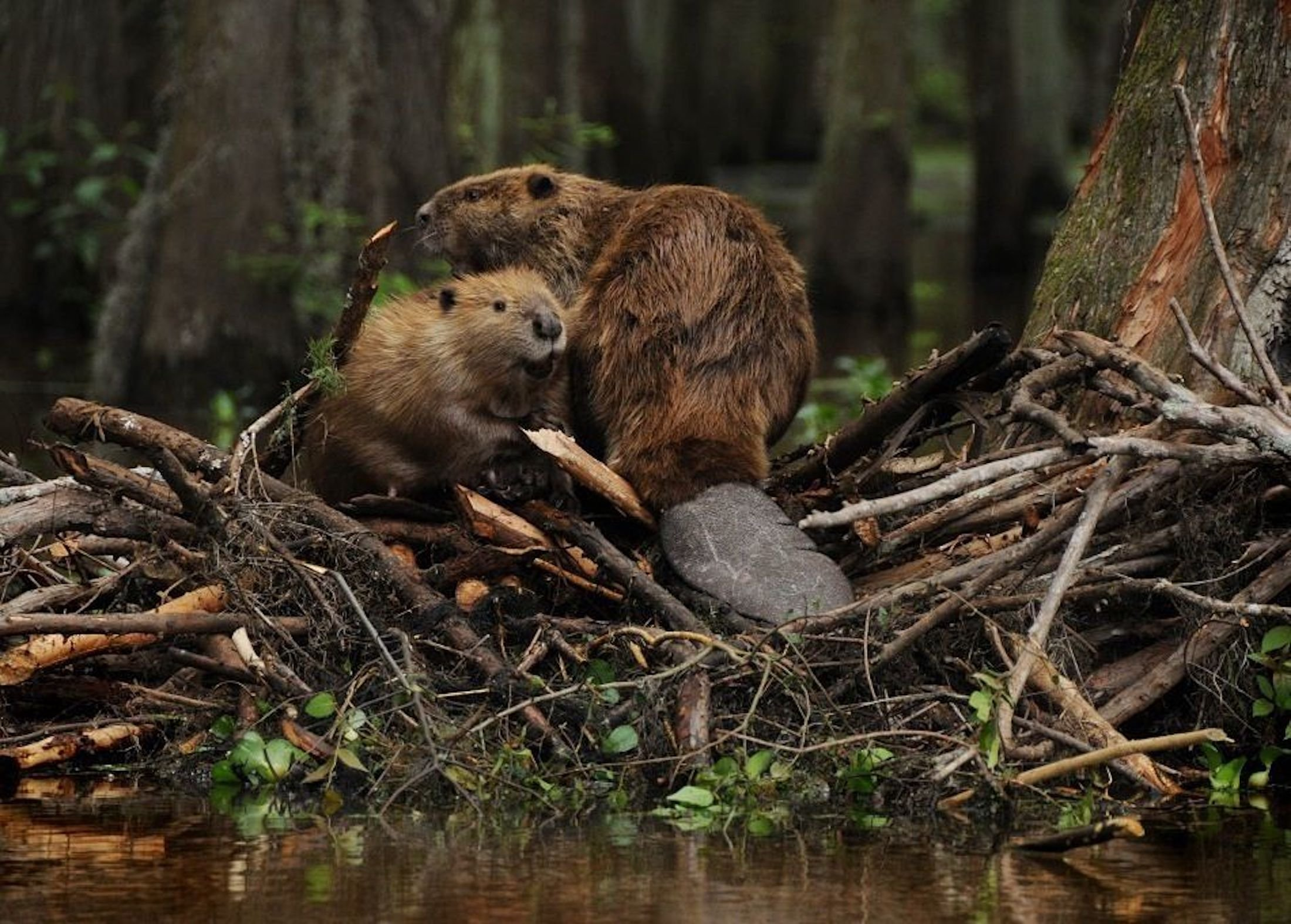 Beaver mother and baby on Lodge by Animal Facts Encyclopedia