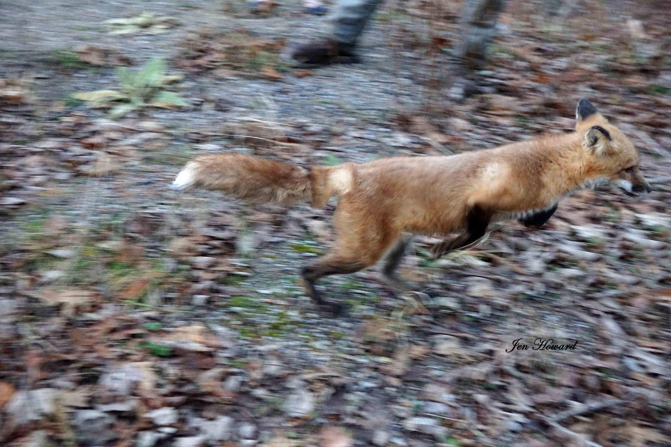 Meadow the Fox Goes Free - 10