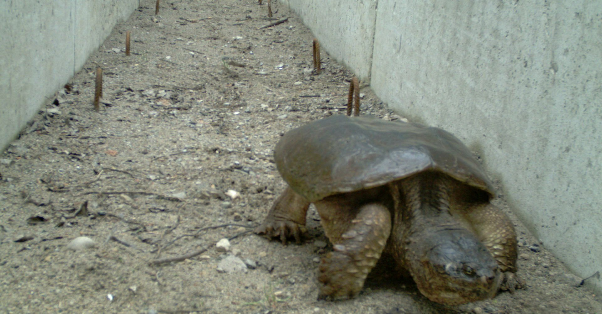 Bruce Peninsula National Park1 -Common Snapping Turtle