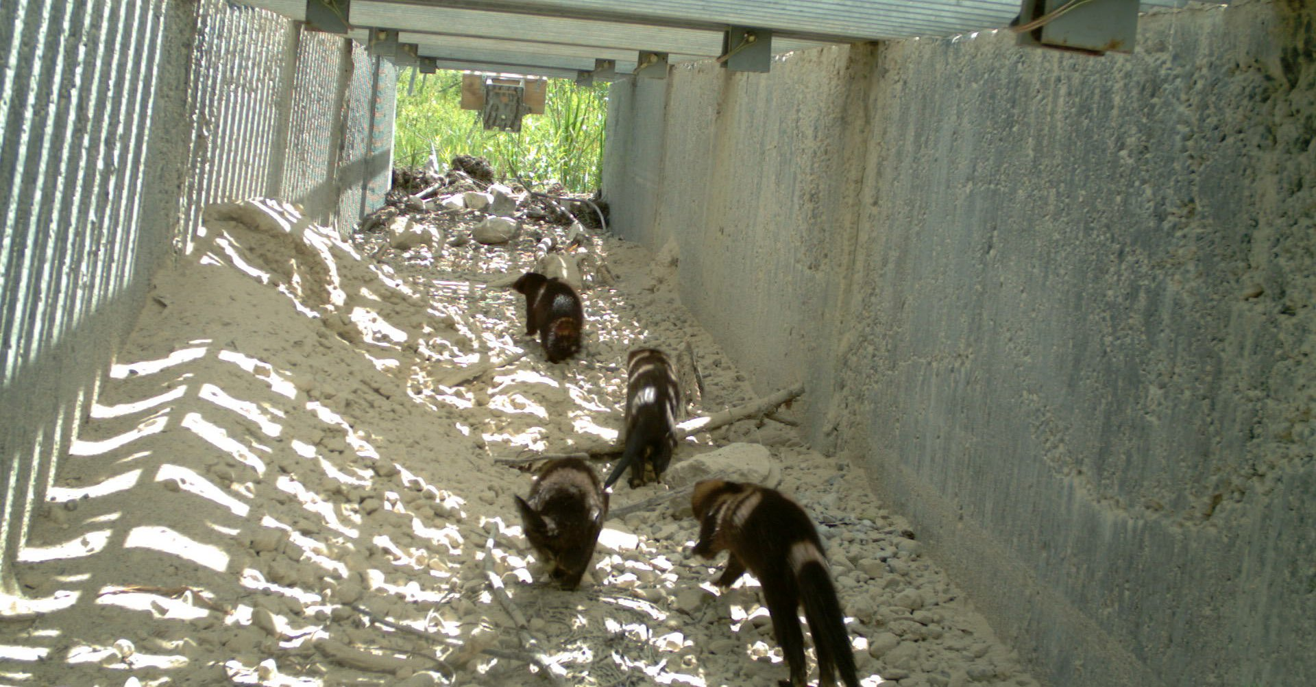Bruce Peninsula National Park2 -Family Of Minks