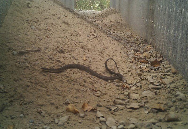 Bruce Peninsula National Park7 -Northern Water Snake