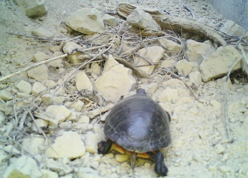 Bruce Peninsula National Park8 - Painted turtle