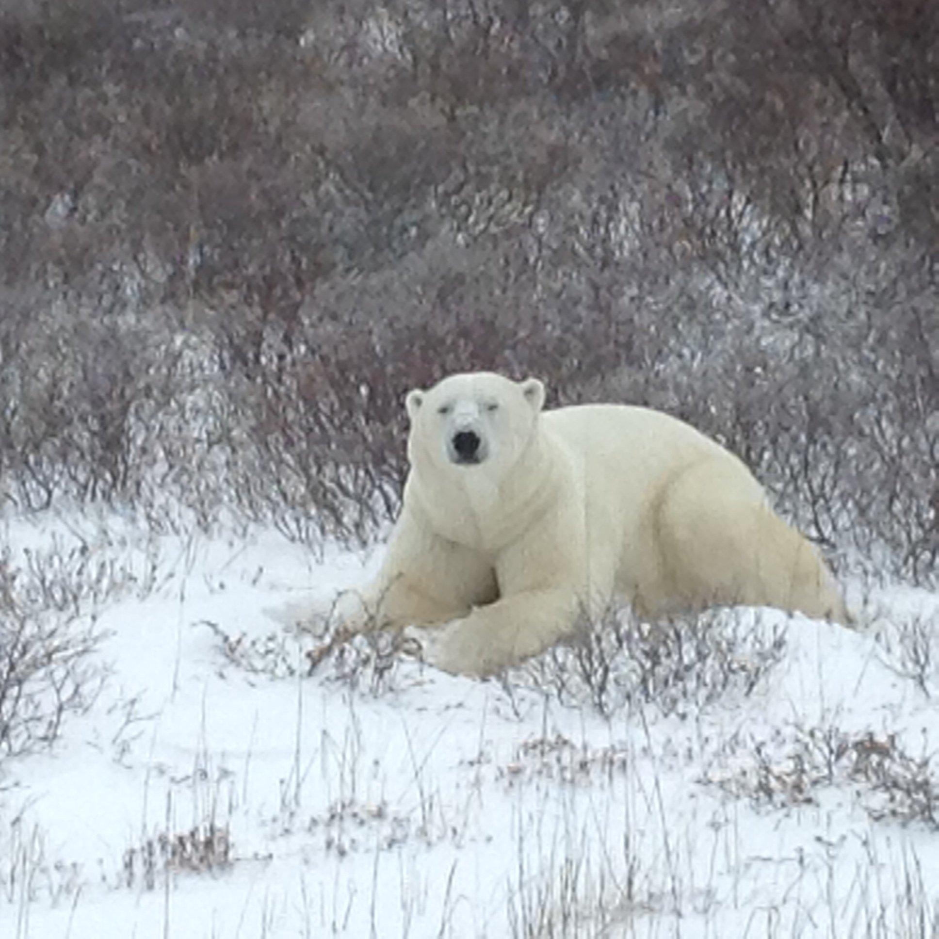 Polar Bear6