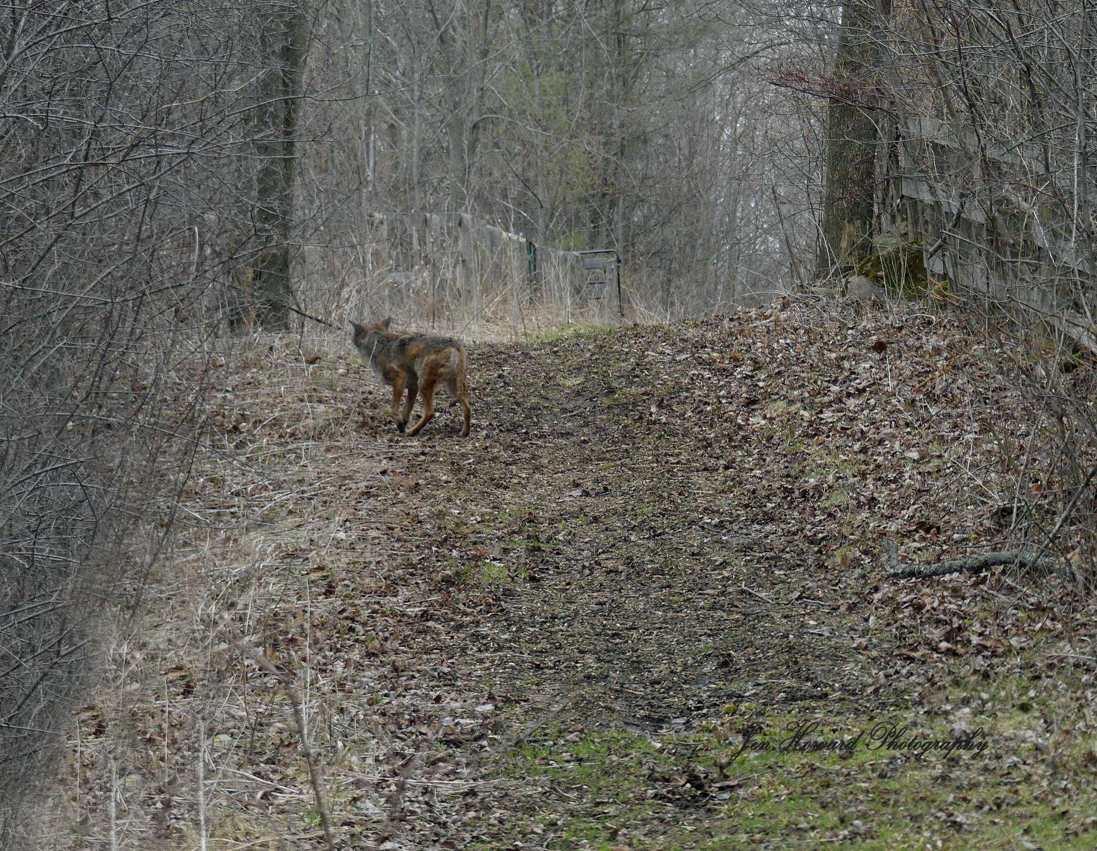 Samson The Coyote (16)