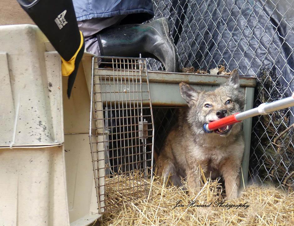 Samson The Coyote (7)