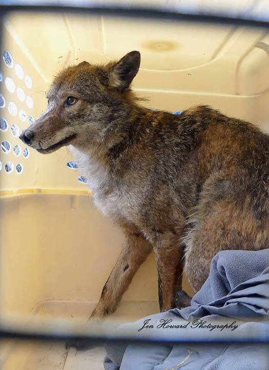 Samson The Coyote (9)