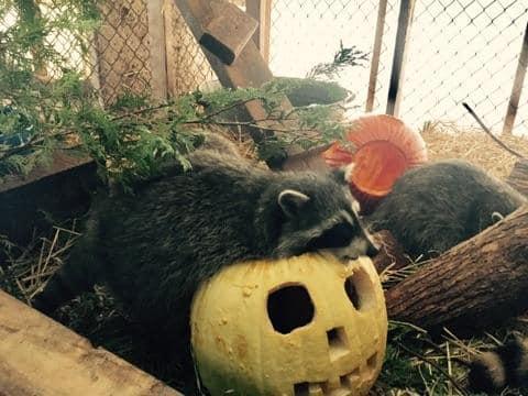Wildife Life Enjoyign The Pumpkins (2)