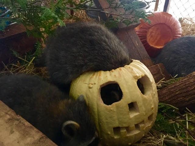Wildife Life Enjoyign The Pumpkins (3)
