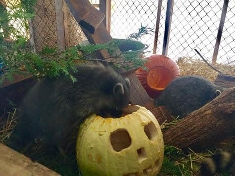 Wildife Life Enjoyign The Pumpkins (5)