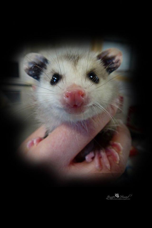 Baby Oppossum (3)