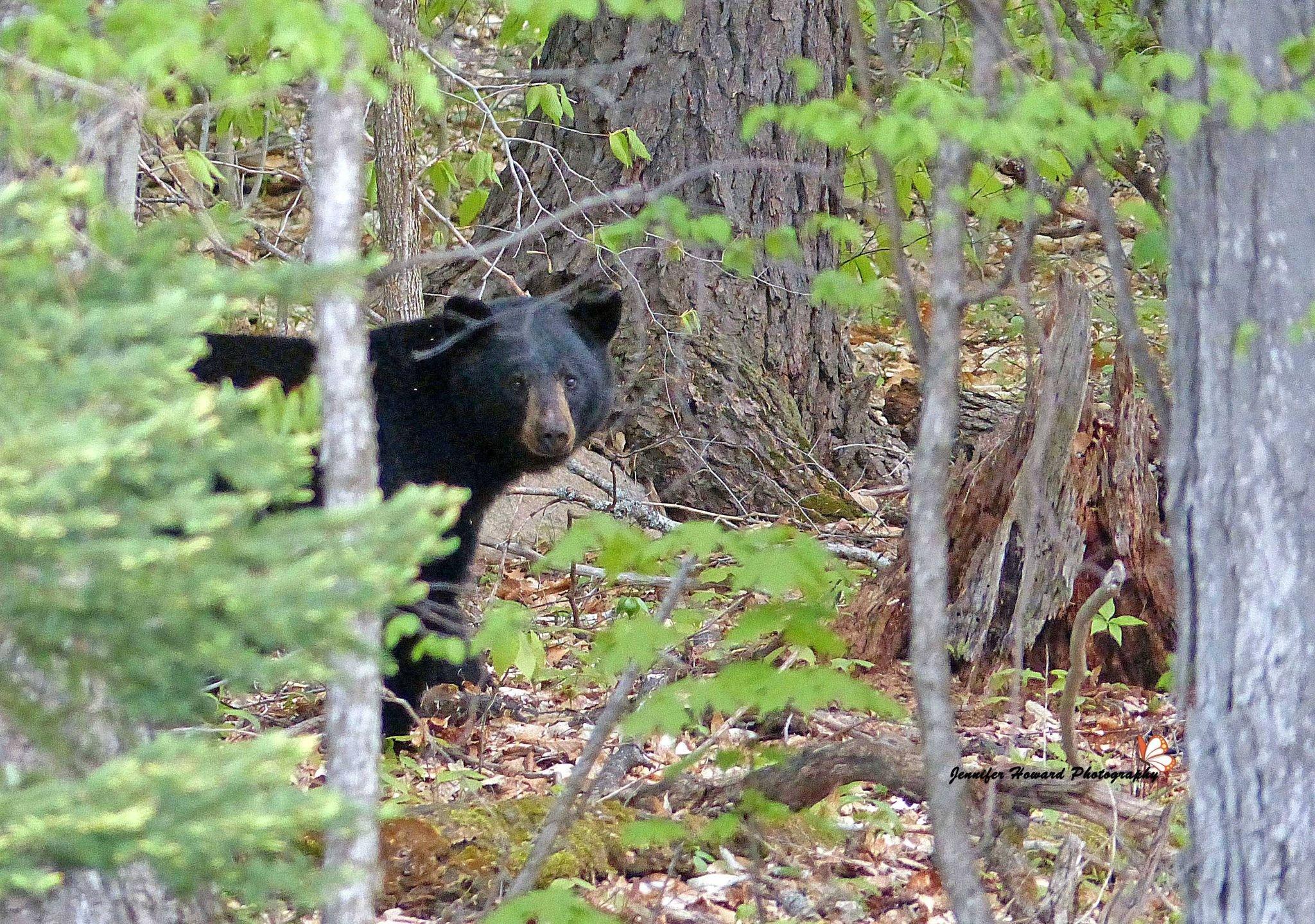 Bear 12