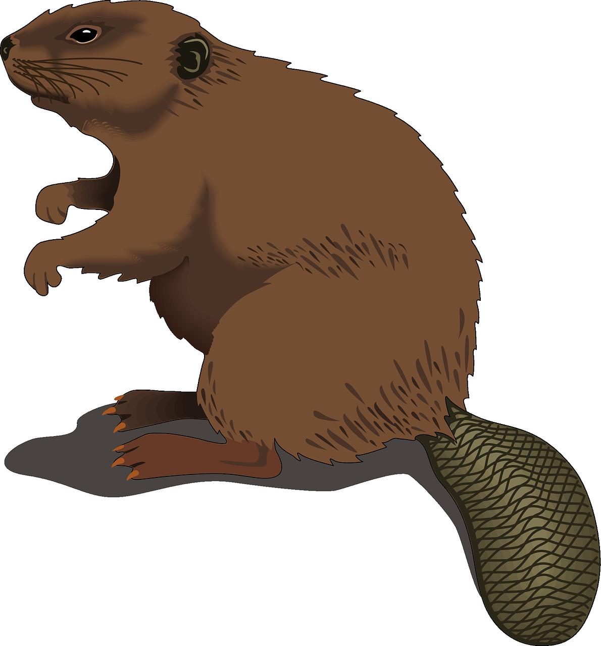 Beaver-48437 1280