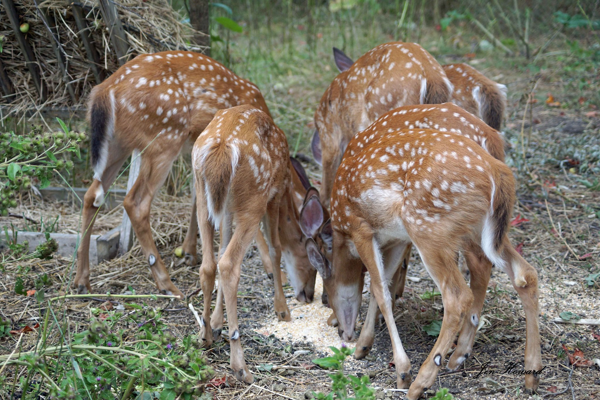 Fawns (14)