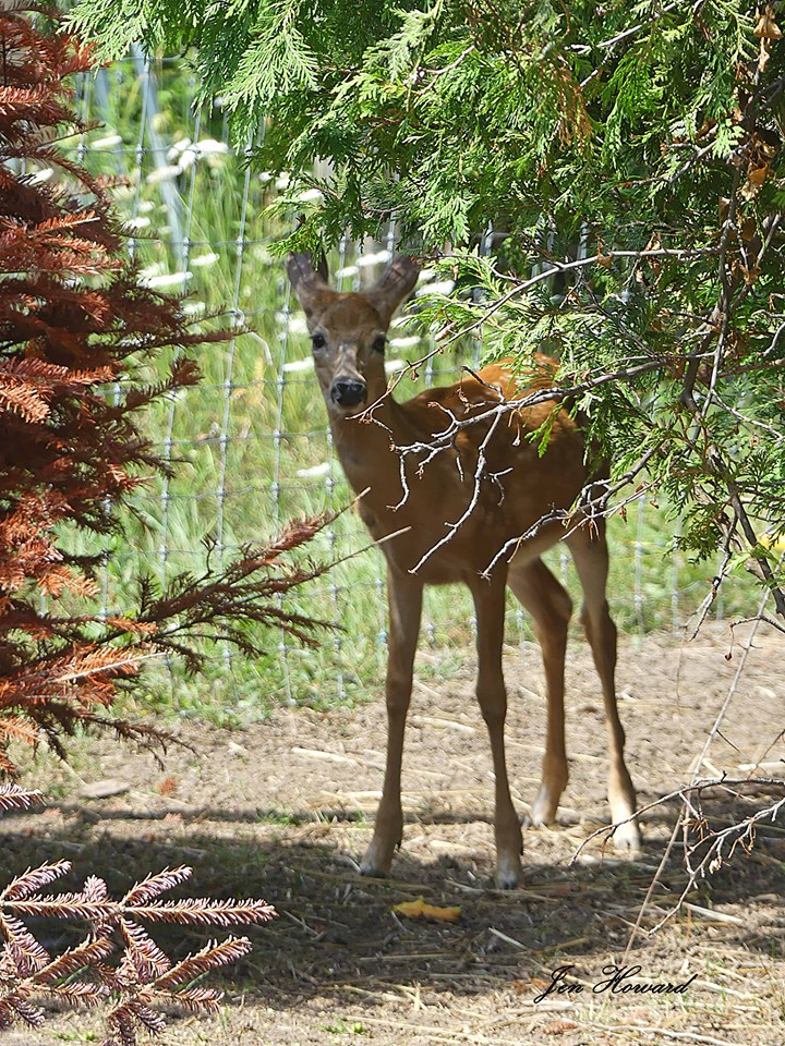 Fawns (6)