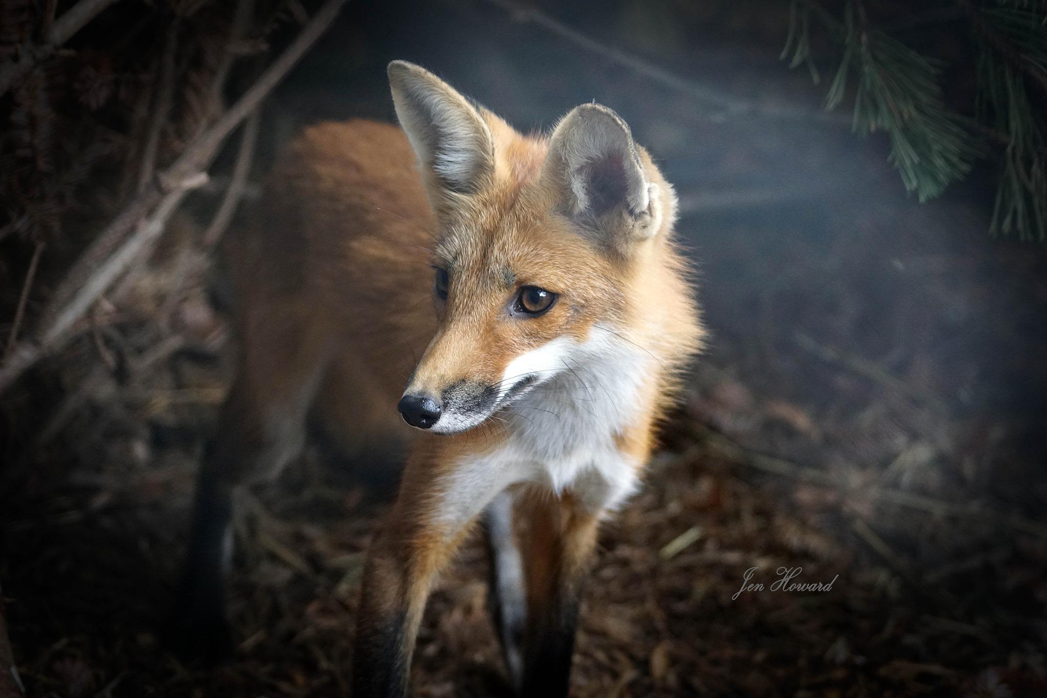 Fox Kits (17)