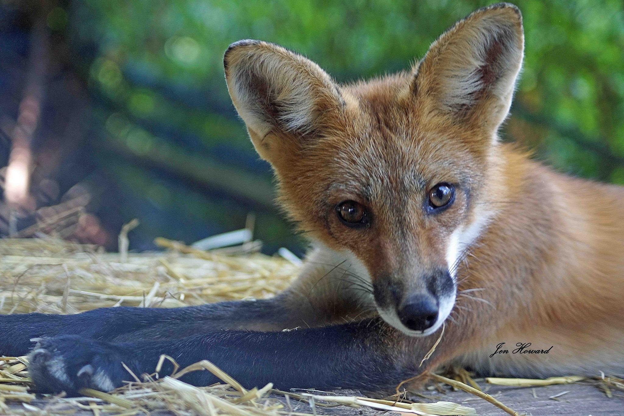 Fox Kits (22)
