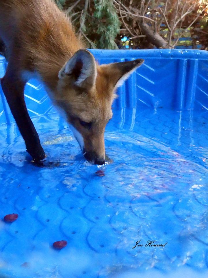 Fox Kits (3)