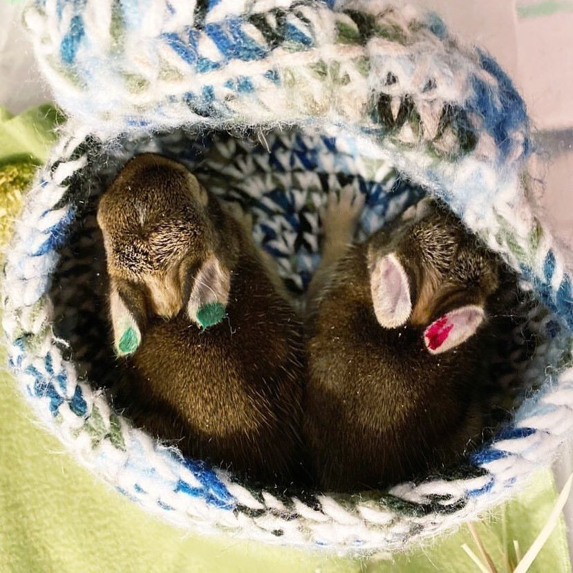 More Baby Bunnies Cared For By One Of Our Foster Parents (1)